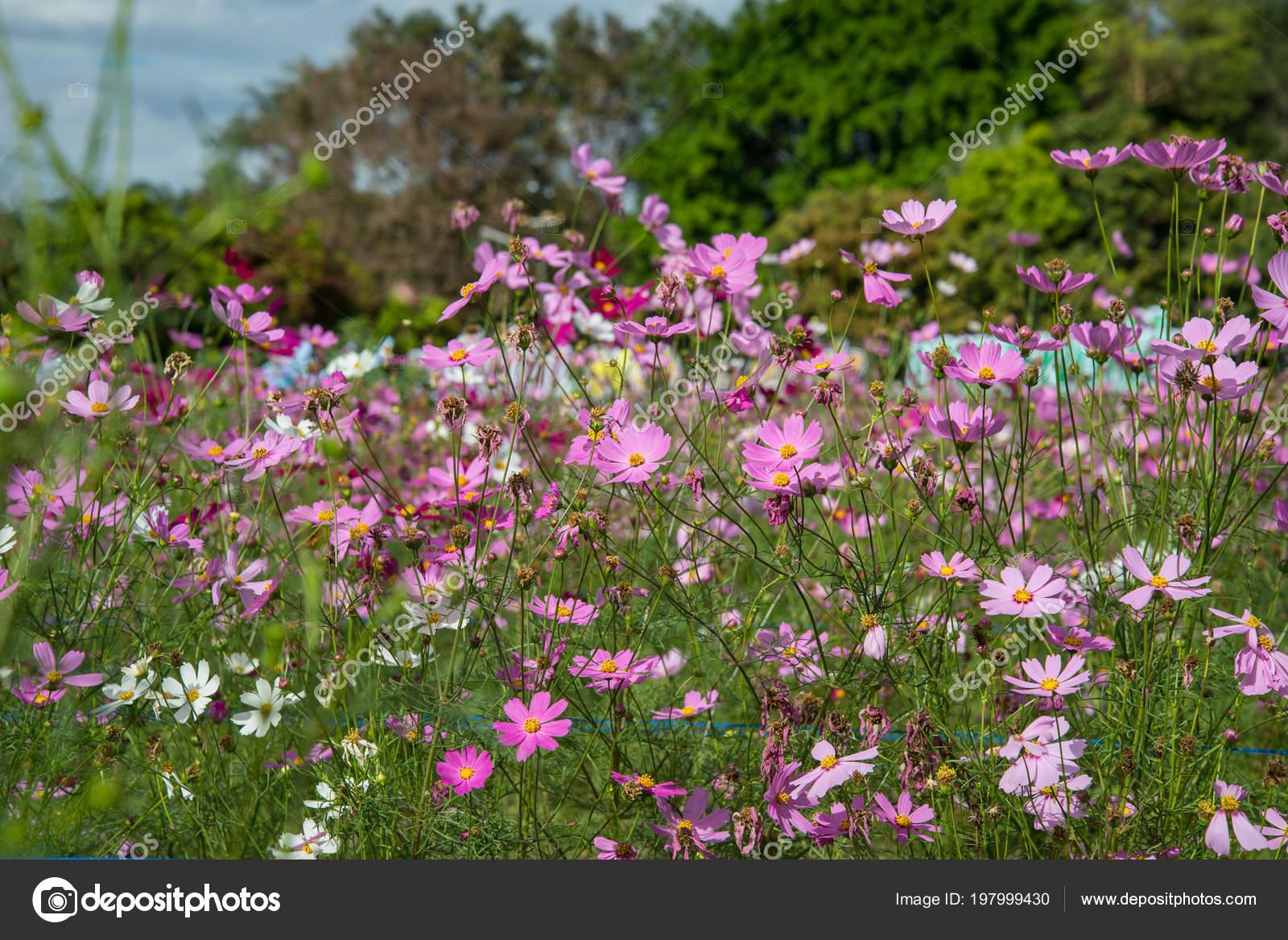 Kosmos Blumen Garten Schöne Blume Stockfoto Watcharapol 197999430