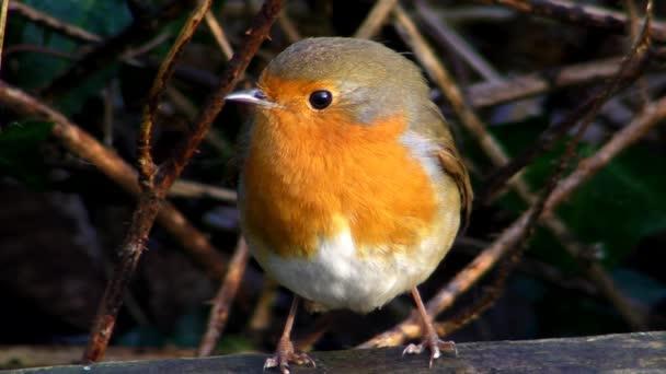 kleiner niedlicher kleiner orangefarbener Vogel Papagei sitzt auf grünem Ast und beobachtet die wilde Natur in atemberaubender Nahsicht