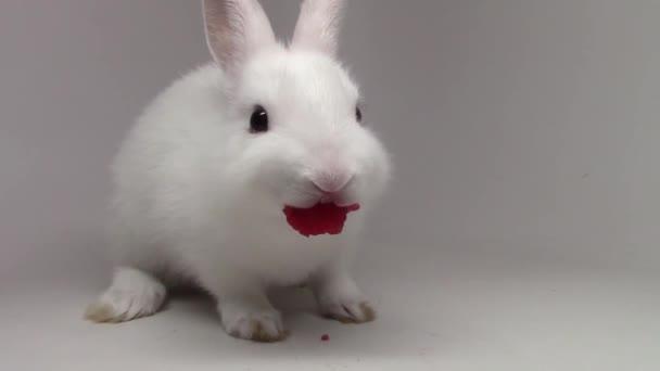 Malý králíček krásný, chlupaté bílé roztomilé králíček, který jedl jahodu na bílém pozadí v těsném pohledu