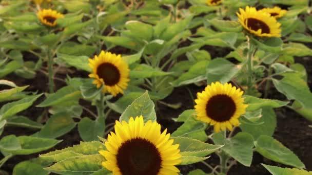 Napraforgó-termesztő méhek a pollen összegyűjtésére