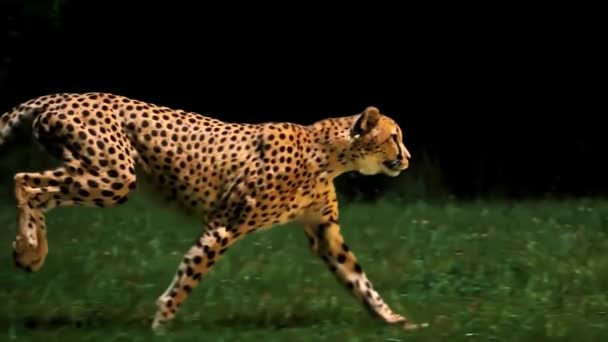 Gepárd futás Super Slow Motion 4k