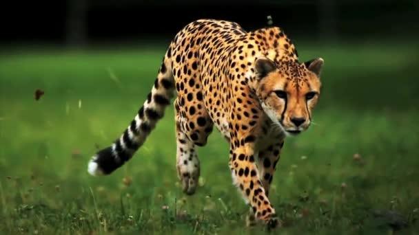 Gepard běžící pohled s pomalým pohybem zepředu