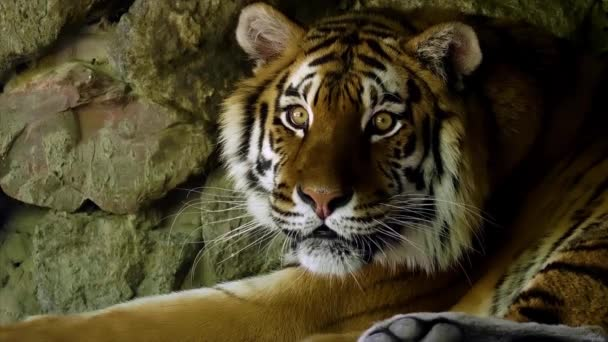 Amazing Tiger Looking Slow Motion