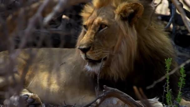 Csodálatos felvétel vad oroszlán üvöltés