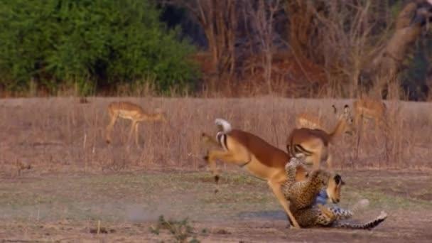 Csodálatos vad leopárd támadások Gazelle