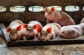 Fotografie Young pigs in hog farms, Pig industry