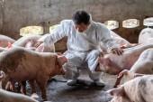 A disznó-gazdaságokban, állatok és sertések mezőgazdasági ágazatában dolgozó, valamint a sertés ellenőrzésére szolgáló ázsiai állatorvos
