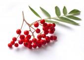 aurumn rowan branch and berries. Ripe red rowan isolated on white background