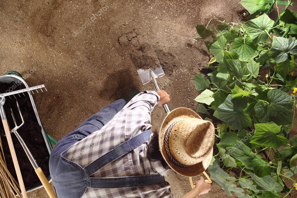 man farmer working with spade in vegetable garden, break up and move the soil near a cucumber plant, top view and copy space template