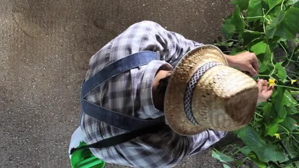 Mann Landwirt arbeitet im Gemüsegarten, kümmern sich um eine Gurkenpflanze, Draufsicht und kopieren Raumschablone