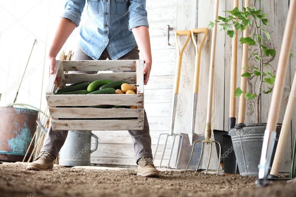woman in vegetable garden holding wooden box with farm vegetables. Autumn harvest and healthy organic food concept