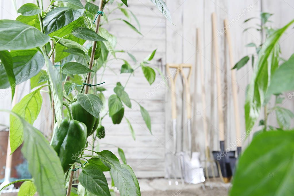 sweet peppers plants and gardening tools on wooden white wall, equipment for vegetable garden , healthy organic food produce concept