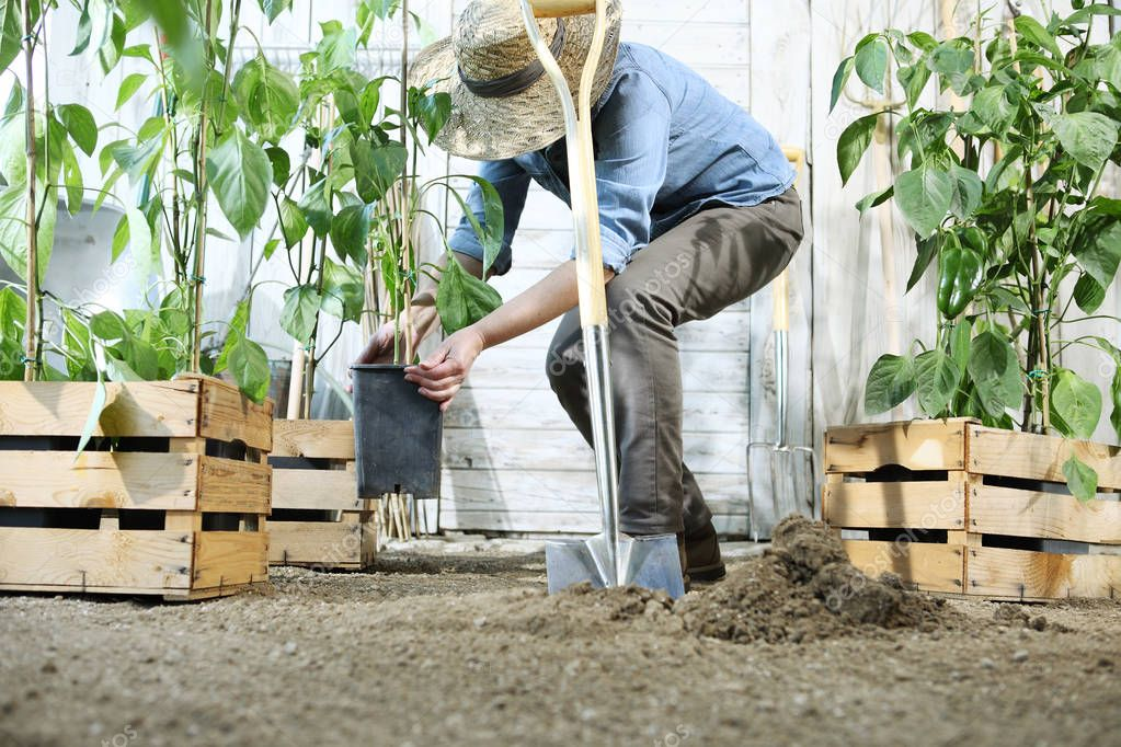 woman plant in the vegetable garden, work by digging spring soil with shovel, near wooden boxes full of sweet pepper plants