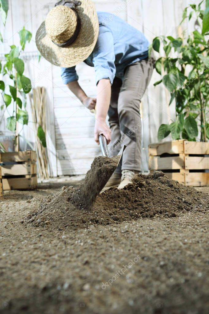 woman plant in the vegetable garden, work by digging spring soil with shovel, near wooden boxes full of green plants
