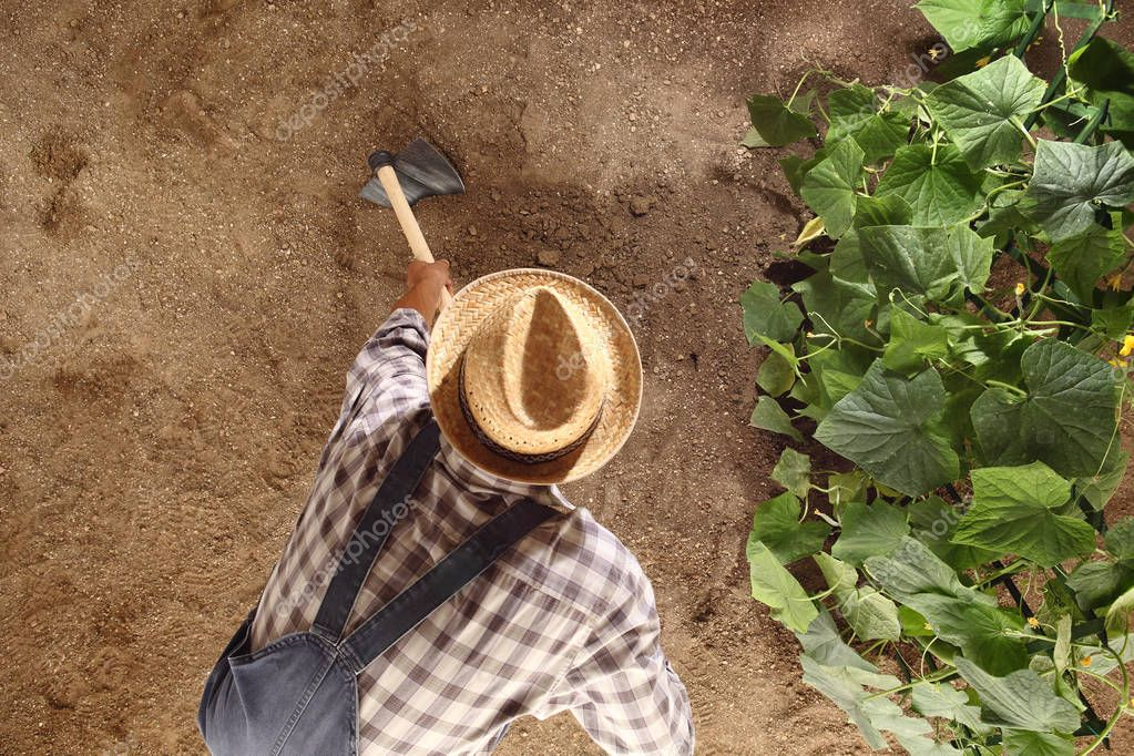 man farmer working with hoe in vegetable garden, hoeing the soil
