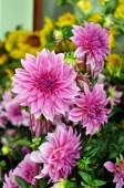Dahlia květiny