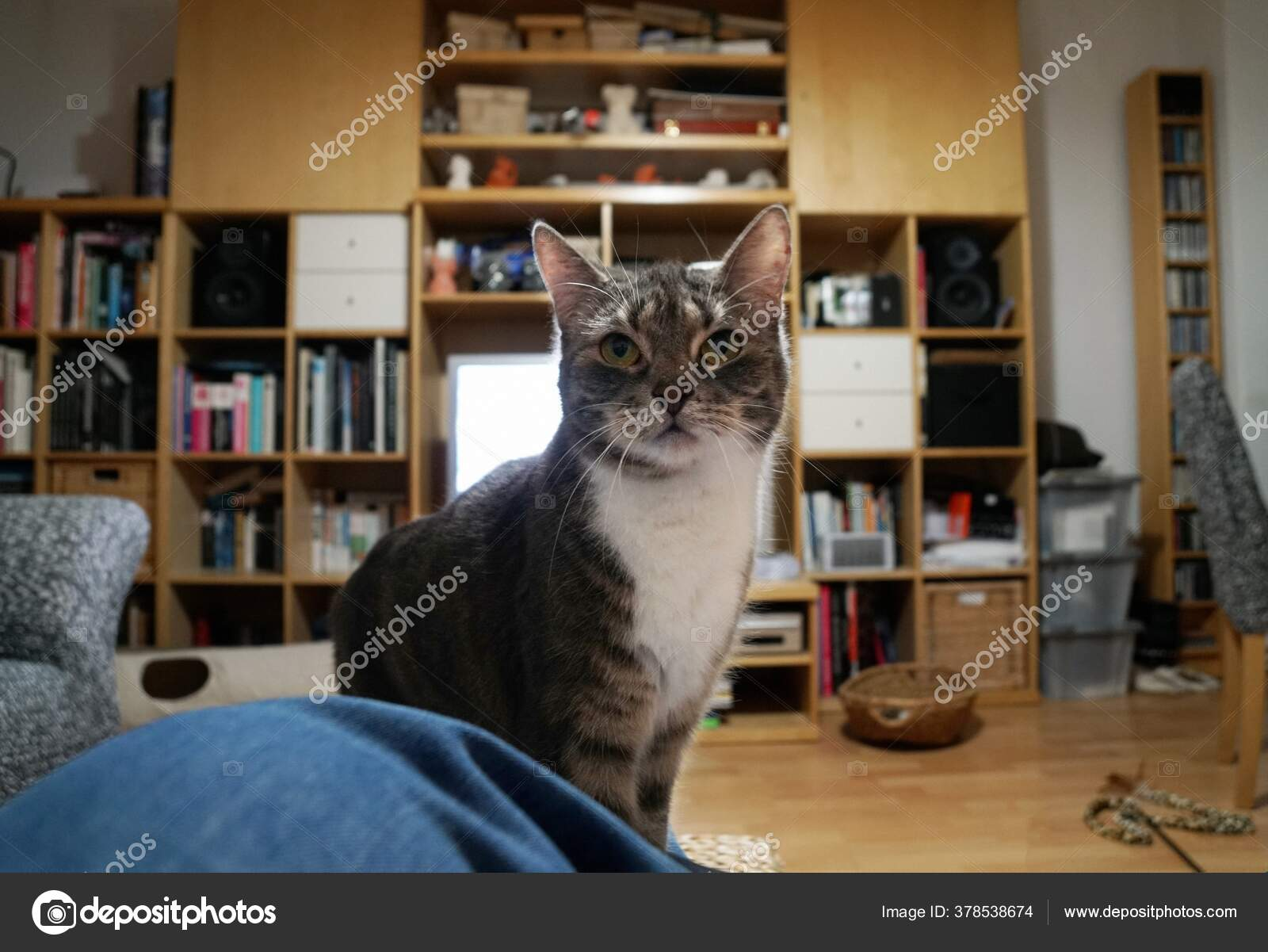Cute Domestic Cat Captured Middle Bedroom Wooden Shelves Stock Photo Image By C Wirestock 378538674