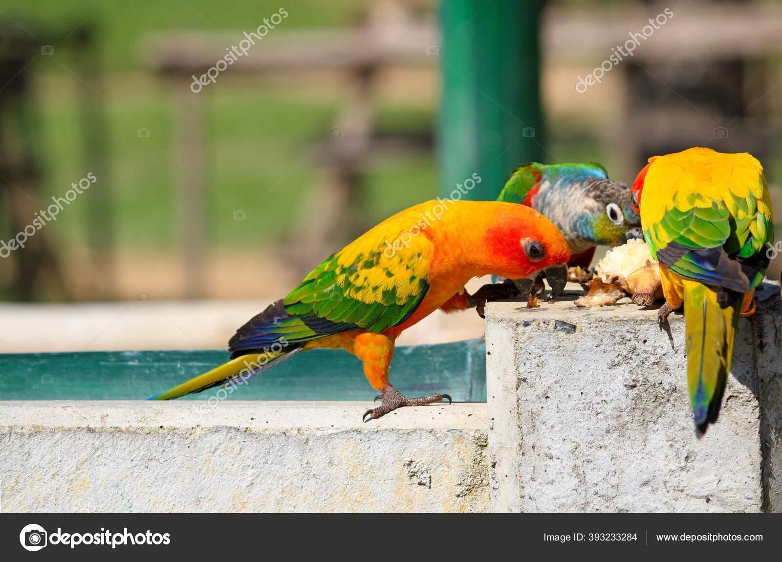 Burung Beo Berwarna Warni Dengan Paruh Hitam Makan Bersama Sama Stok Foto C Wirestock 393233284