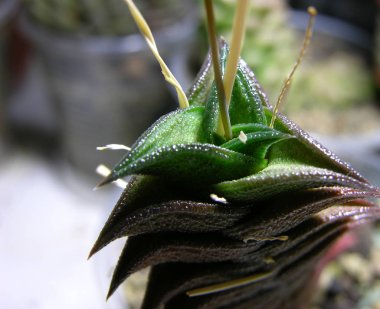 Succulent plant Haworthia viscosa x negro (hybrid). Macro photography of the apical part of the plant with a shallow focus.