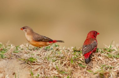 A couple of strawberry finch in dry grass