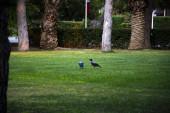 Crows v trávě. Crows mezi zelení a stromy