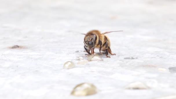 Bee eszik egy csepp mézet. Bee gyűjtése mézet Borneói. Az Apis mellifera. Közeli