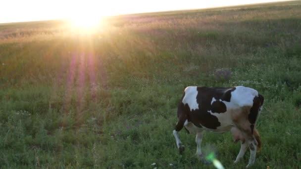 Černá a bílá kráva na louce se škrábe za uchem a otáčí se hlavou. Mírové video při západu slunce. Pohled ze strany