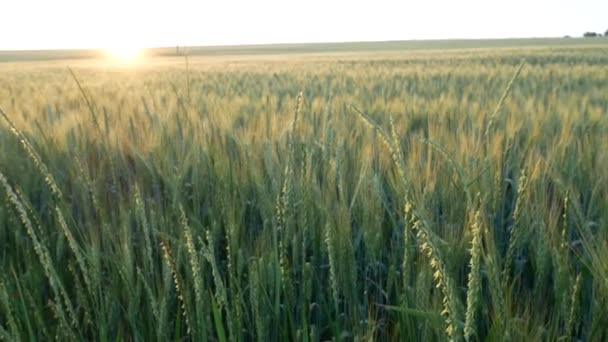 Scenic field with green wheat and wildflowers at the sunset. Cultivated green wheat field background. Video footage of a summer grainfield