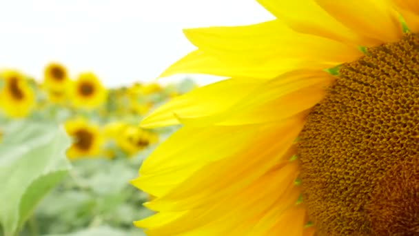 Kvetoucí slunečnice se houpat na slunečnicovém pozadí. Zavřít