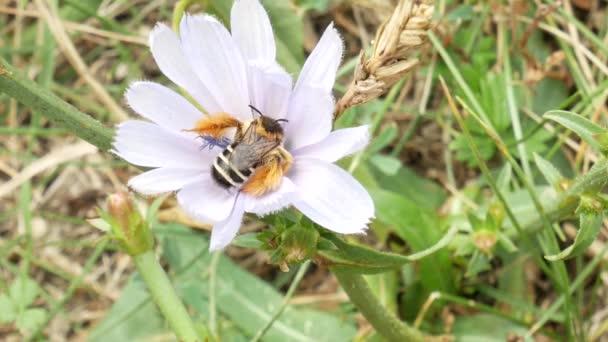 Mézelő méh nektár és a pollen származó virágzó virág összegyűjtése. Mézelő méh a lila virág. Szárnyas méhek gyűjti a nektár méz virág rét. Sárga pollen a méhek lábát. Az Apis mellifera.
