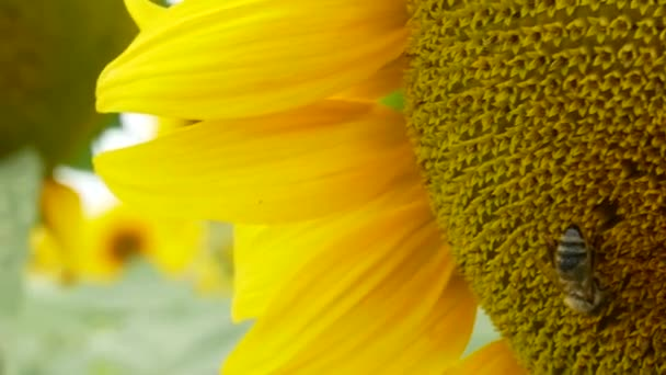 Honey bee collecting nectar and pollen from blooming sunflower. Close up