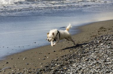 little white dog running playing with the waves of the sea