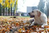 Labrador retriever lies on fallen autumn leaves
