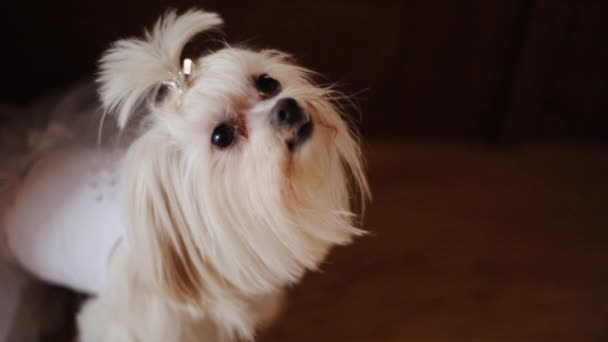 Aranyos fehér kis kutya néz kamera a házban vicces kis állat tenyészt kutya házi emlős kisállat fajtiszta imádnivaló gyönyörű barna elszigetelt keres fiatal kölyök kutyus ápolás törzskönyv lassú mozgás