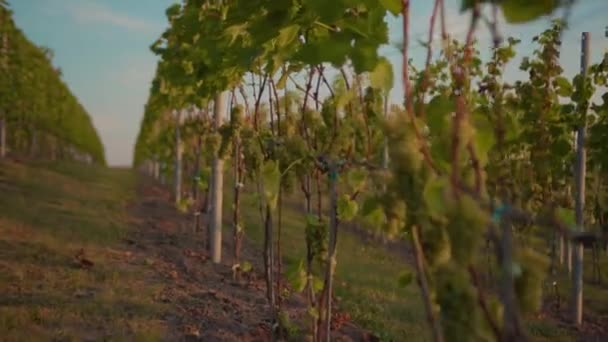 Zelené hrozny révy vinné na vinici při východu slunce zemědělství krajina rostlina vinice farma příroda víno krásný nápoj jídlo venkově léto východ slunce agrobyznys větev s listy farmář list zpomalení