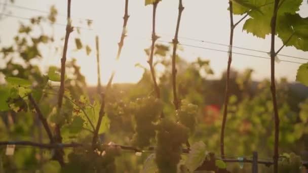 At sunset green grape vines in vineyard at sunrise agriculture landscape plant vineyard farm nature wine beautiful drink rural summer sunrise sun agribusiness branch with leaves farmer leaf slow