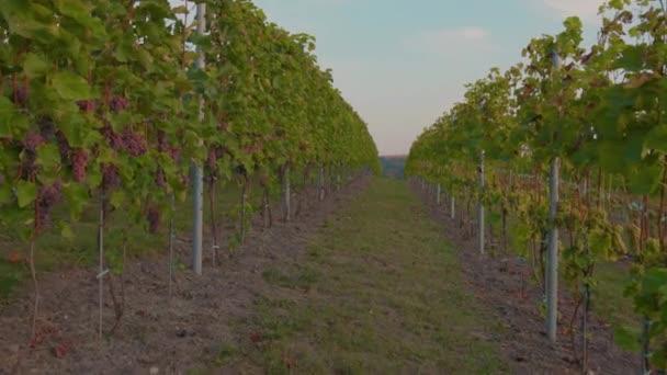 Zpomalený pohyb hroznů révy vinné na vinici při východu slunce zemědělství krajina rostlina vinice farma příroda víno krásný nápoj venkově léto východ slunce agrobyznys větev s listy farmář list zblízka