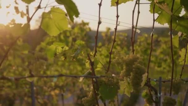 Zavřít zelené hrozny révy vinné na vinici při východu slunce zemědělství krajina rostlina vinice farma příroda víno krásný drink venkově léto východ slunce agrobyznys větev s listy farmář list zpomalení