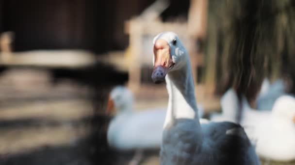 Porträt eine weiße Ente wandert Vogel Baum Nahrung Natur Tier Gänse grün Nahaufnahme Park Tiere Feld Herde Gruppe anmutig wilde Zeitlupe