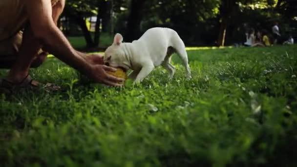 Közelről kéz ember játszani boldog fehér francia bulldog egy sárga labdát a területen naplemente természet állat közelkép kisállat imádnivaló kutya aranyos érzelem kifejezés barátok vicces keres pedigré kicsi