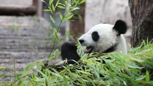 Cute Panda eating bamboo stems at zoo. Giant Panda eats the green shoots of bamboo. Close-up shot.