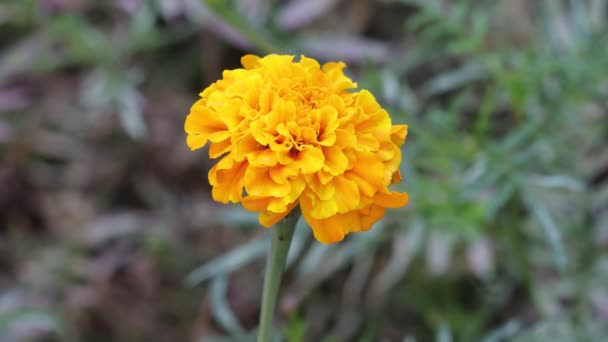 close up of a beautiful steady marigold yellow flower in the home garden , India