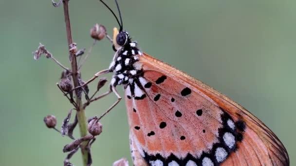detailní záběry motýlů Tawny Coster sedících na suché větvi v Chennai v Indii