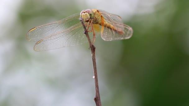 Egy nyamvadt szitakötő ül egy szárított fűszálon, és a vadon élő rovar megrázta a száját, és az áldozatot bámulta..