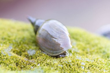 a large snail crawls on a stone covered with moss