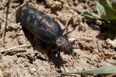 Variegated oil beetle (Meloe variegatus) is Beetle from Meloidae family. Baysuntau ridge. Surkhandarya region. Uzbekistan.