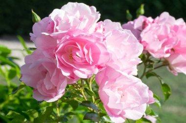 rosier rose jardin parfum