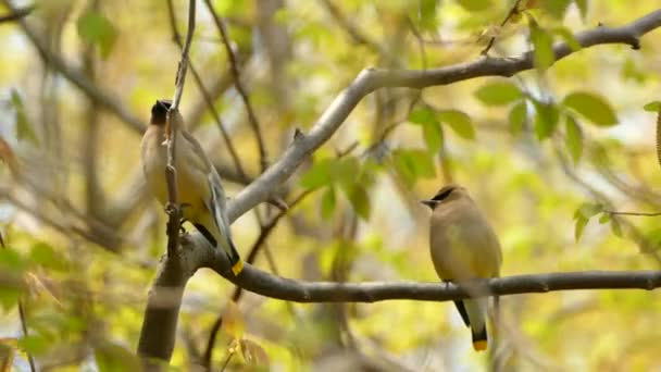 Pair of twin lookalike cedar waxwing birds with striking colored feather features