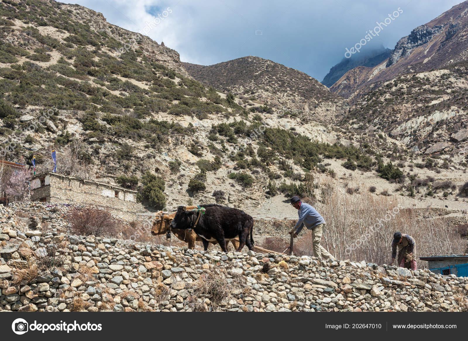 professionelle Website guter Verkauf zuverlässiger Ruf Villaggio Manang Himalaya Nepal 2018 Uomo Una Donna Che Ara ...