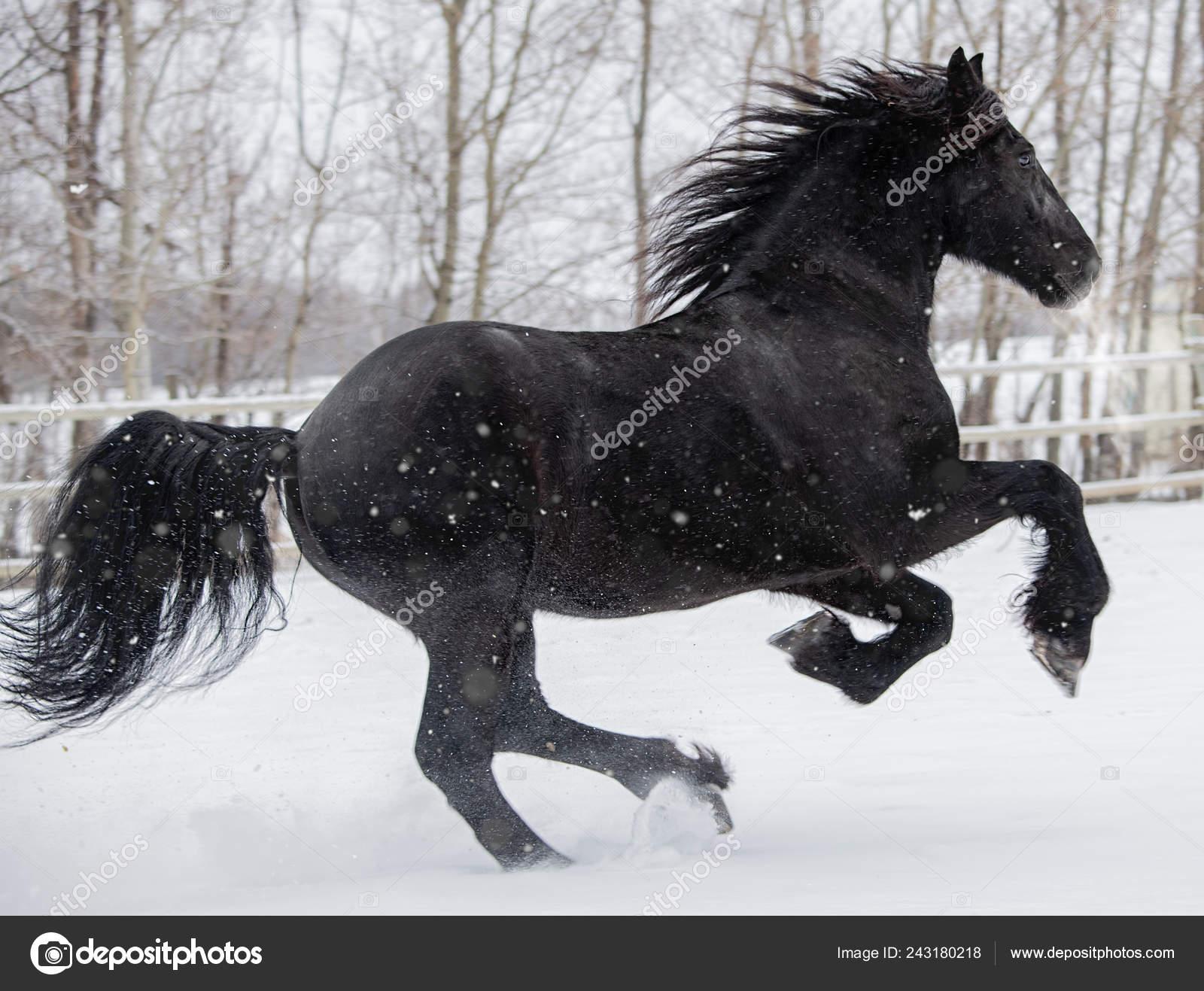 Friesian Horse Running Snow Fields Canada Stock Photo C Feeferlump 243180218